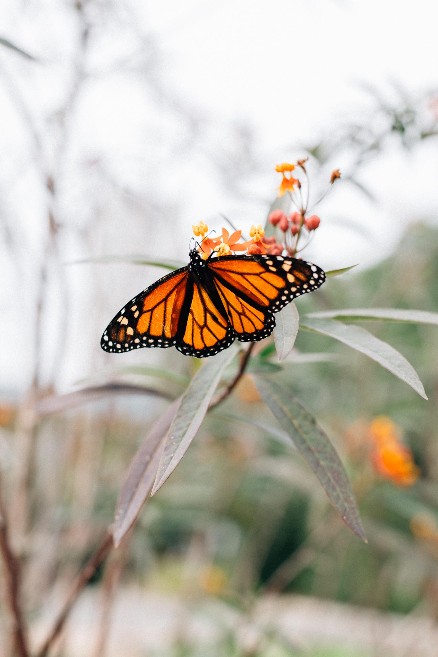 Monarch butterfly at Houston Centennial Gardens